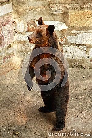 Brown Russian bear