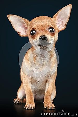 Sad Chihuahua Face