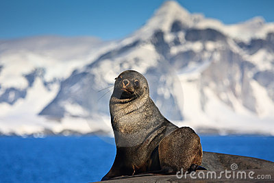 Brown seal