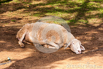 Brown sheep lay on ground in farm