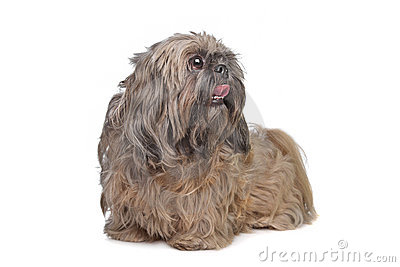 Brown Shih Tzu dog