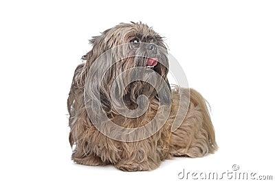 Brown Shih Tzu dog