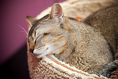 Brown short-haired cat sleeps