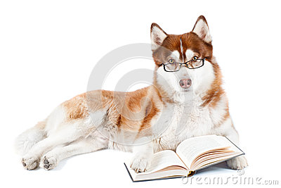 Brown siberian husky dog reading book in specs