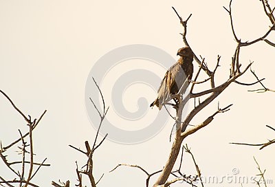 The Brown Snake Eagle