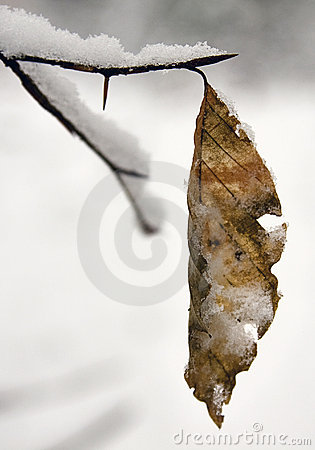 Brown snowy leaf