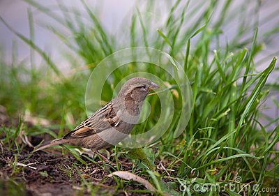 Brown sparrow on green grass