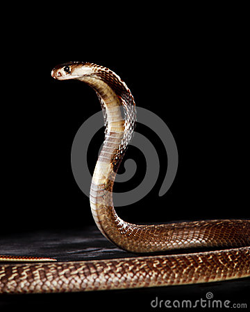 Brown Spectacle Cobra with Hood