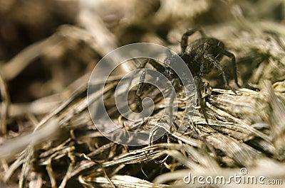 Brown spider on dried grass