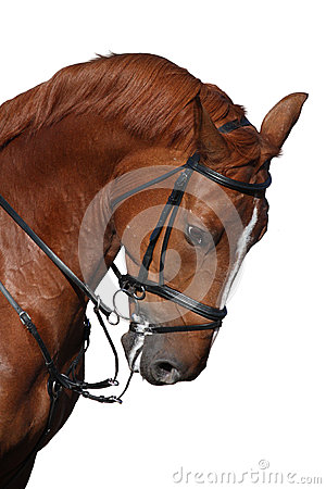Free Brown Sport Horse Portrait Isolated On White Stock Image - 45734971