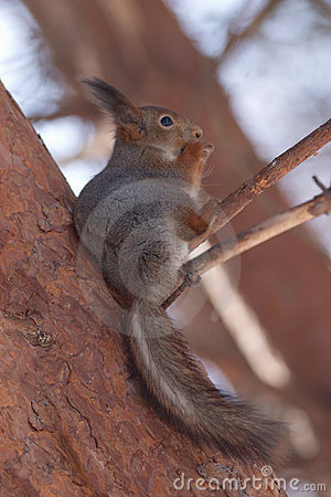 Brown squirrel eating nut on pine in winter forest