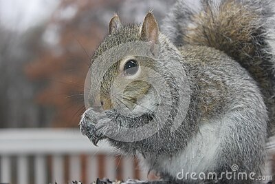 Brown Squirrel Outdoors Free Public Domain Cc0 Image
