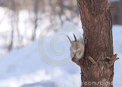 Brown squirrel sits on pine branch