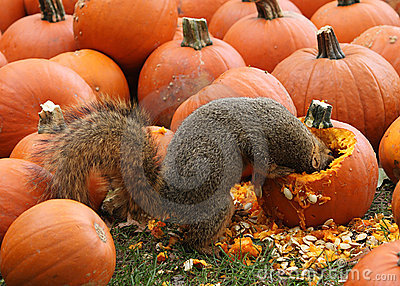 Brown Squirrel Snacking on Pumpkin Seeds