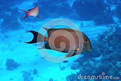Brown surgeonfish