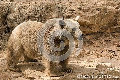 Brown Syrian Bear