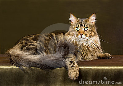 Brown tabby Maine Coon cat