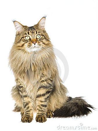 Brown tabby Maine Coon on white background