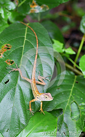 Brown Thai native lizard catch on the tree