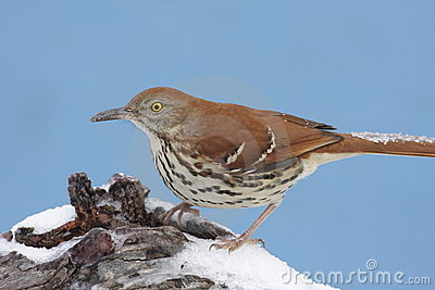 Brown Thrasher In Winter