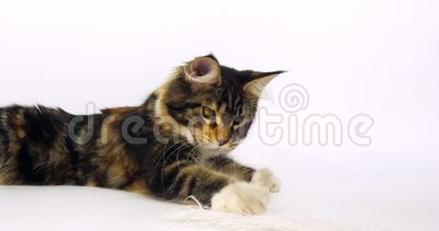 Brown Tortie Blotched Tabby and White Maine Coon Domestic Cat, Femmina che gioca contro White Background, Normandia in Francia, S stock footage