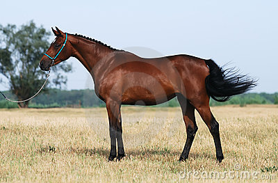 Brown trakehner horse