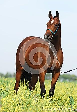 Brown trakehner horse