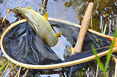 Brown trout in fishing landing net