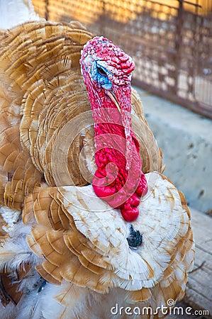 Brown turkey close-up