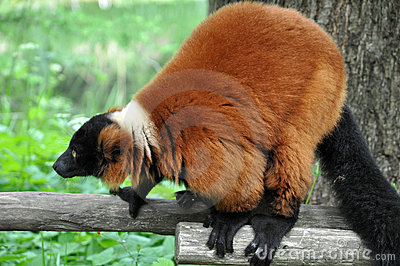 Brown Vari Lemur Royalty Free Stock Photos - Image: 14656868