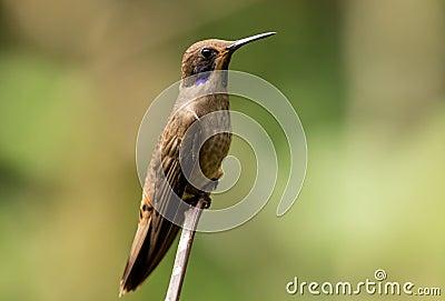 Brown Violetear(Colibri delphinae