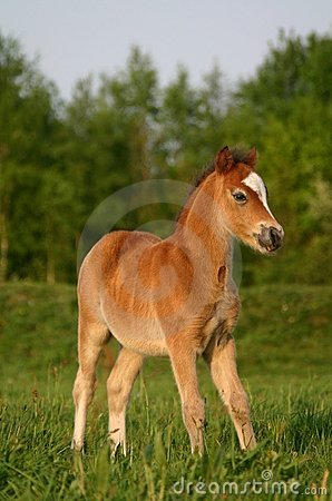 Free Brown Welsh Pony Foal Royalty Free Stock Photos - 775448