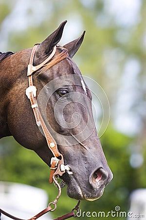Brown western horse portrait