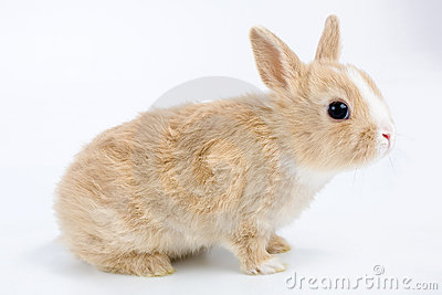 Brown-white bunny, isolated on