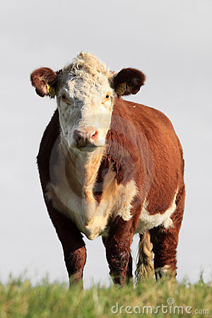 Brown white cow
