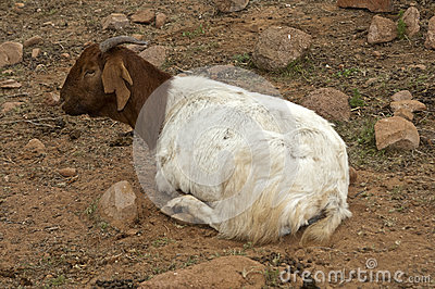 Brown-white goat
