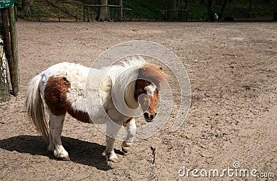 Brown-white horse ( pony )
