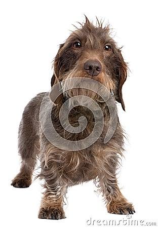 Brown Wire-haired dachshund (3 yeras old)