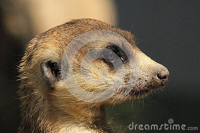 Brown Yellow And White Meerkat Free Public Domain Cc0 Image