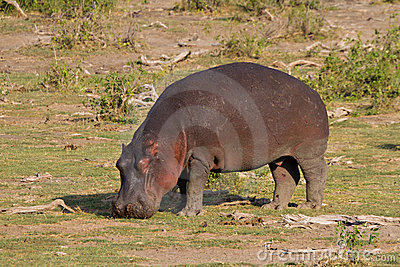 Browsing Hippo