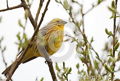 Bruant jaune sur la branche