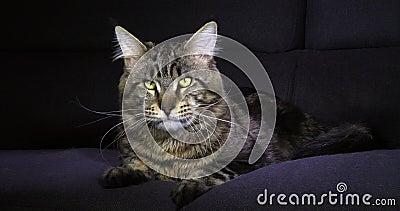 Bruine Blotched Tabby Maine Coon Domestic Cat die, Mannetje tegen Zwarte Achtergrond leggen, die zijn Neus, Normandië in Frankrij stock footage