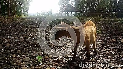 Bruine geit eet gras in het veld, zonlicht op zonsondergang, video stock video