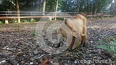 Bruine geit eet gras in het veld, zonlicht op zonsondergang, video stock videobeelden