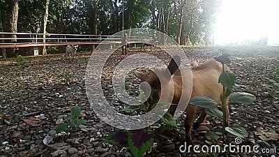 Bruine geit eet gras in het veld, zonlicht op zonsondergang, video stock footage