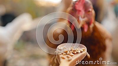 Bruine kip eet tarwe van een houten lepel Langzame beweging Sluiten stock videobeelden