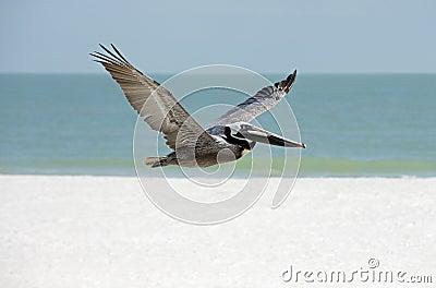 Bruine Pelikaan (Pelicanus-occidentalis)