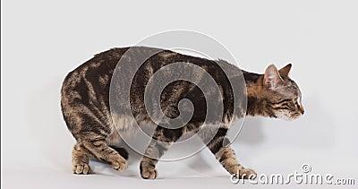 Bruine Tabby Domestic Cat die tegen Witte Achtergrond, Langzame motie lopen stock video