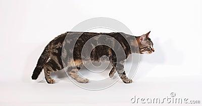 Bruine Tabby Domestic Cat Walking en het Mauwen tegen Witte Achtergrond, Langzame motie stock footage