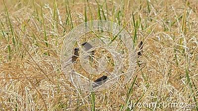 Bruine vogel in padie stock videobeelden